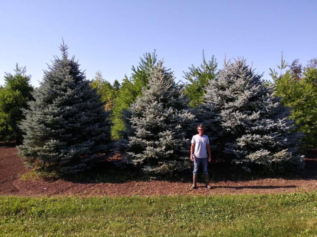 Blue Spruce Trees (7-17-2020)